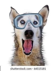 a husky wolf dog with scuba gear on