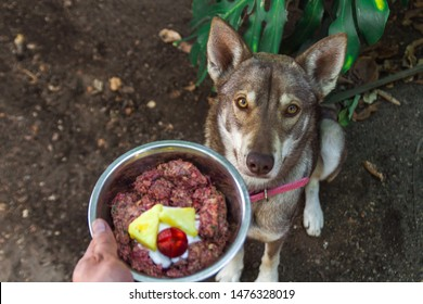 Husky wolf dog sitting waiting for her natural raw barf diet food looking at camera