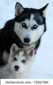 husky with young