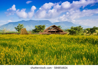 The hut in field Crotalaria and blue sky of background.