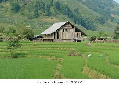 hut and Green Terraced Rice Field in sapa vietnam