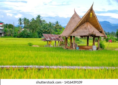 A hut in the middle of rice field with agriculture village in the background