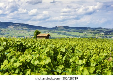 The hut in the middle of vineyards, Beaujolais, France