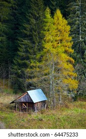 hut and two red spruces