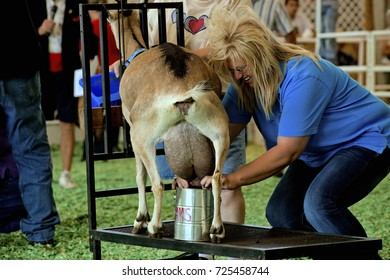 Hutchinson Kansas, USA, 18th September, 2015Goat milking contest at the Kansas State Fair today in Hutchinson.