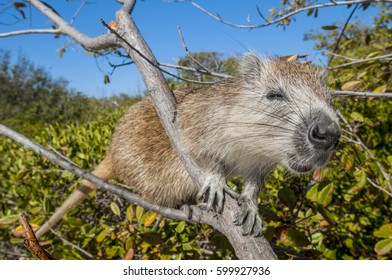 Hutia, a type of rodent, climbs a tree on a small mangrove island in Cuba