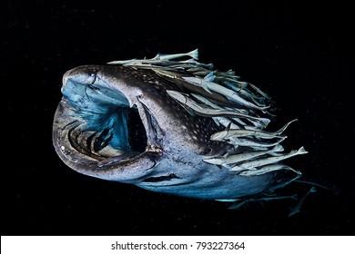 Huvadhoo-atoll, Maldives, 04.06.2017, whale shark & remoras