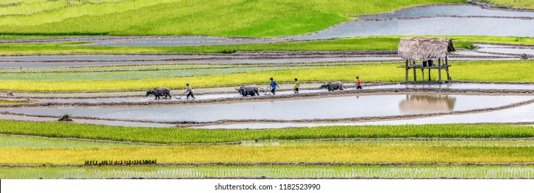 HUYEN MU CHANG CHAI, VIETNAM - JUNE, 10, 2018: Rice fields on terraced. Vietnamese peasants using buffaloes prepare fields for planting rice. Lim Mong, Huyen Mu Chang Chai, Northen Vietnam