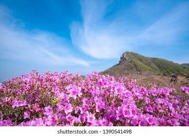 Hwangmaesan mountain and  Royal Azalea Flower on Spring season at Gyeongsangnam-do South Korea.The mountain of the most beautiful azalea of Korea.
