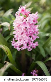 Hyacinth blooming in a garden during spring