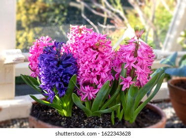 Hyacinth blossom. Close-up purple or lilac hyacinthus flowers in pot indoors