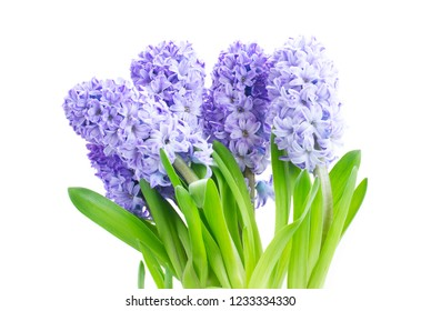 Hyacinth blue flowers with green leaves isolated on white background