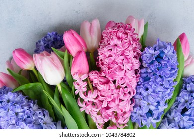 Hyacinth blue and pink fresh flowers on gray