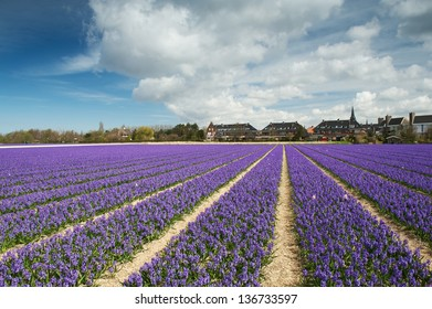 Hyacinth field and a small village behind, the Netherlands