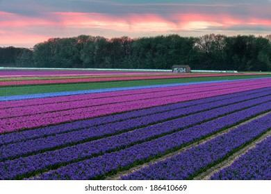 Hyacinth fields near near Lisse, Netherlands. End of April, beginning of May are best to see the flower fields ( hyacinths and tulips) in the Netherlands.