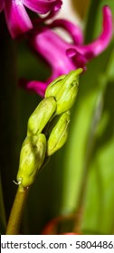 hyacinth the flower Bud flaccid papanek