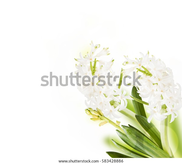 Hyacinth flower isolated on white background. Spring, gardening concept.
