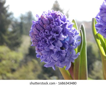 Hyacinth flowers blooming at springtime