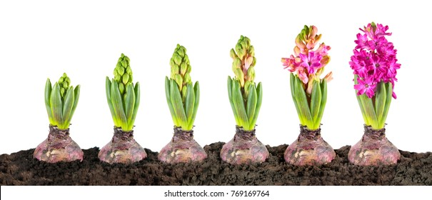 Hyacinth growth stage isolated on white background