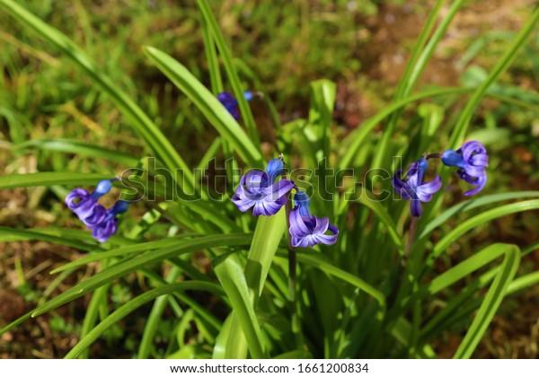 Hyacinth (Hyacinthus orientalis)  flower blossom closeup