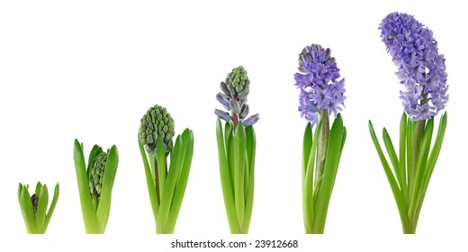 Hyacinth isolated on white background.Stages of growth.