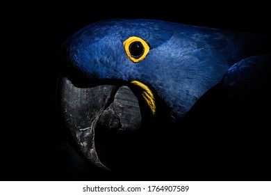 Hyacinth macaw (Anodorhynchus hyacinthinus), with beautiful dark background. Colorful rare bird with blue feather sitting on the branch in the forest. Wildlife scene from nature, Brazil