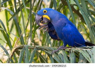 Hyacinth Macaw (Anodorhynchus hyacinthinus), feeding on nuts, Pantanal, Mato Grosso, Brazil
