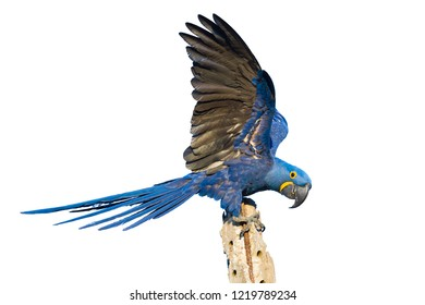 Hyacinth macaw, Anodorhynchus hyacinthinus, isolated on white background, Mato Grosso, Pantanal, Brazil