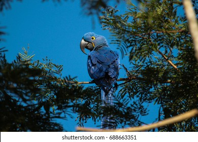 The hyacinth macaw (Anodorhynchus hyacinthinus) at Pantanal Brazil.
