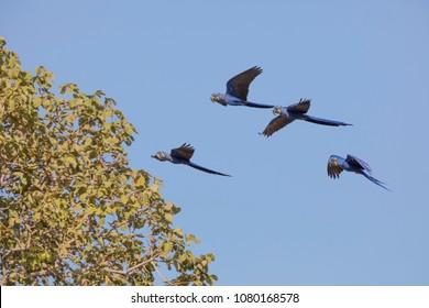 hyacinth macaw in Brasil Pantanal