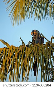 Hyacinth Macaw on a Palm Branch. Pantanal, Brazil