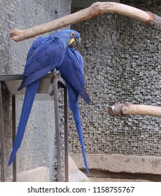 Hyacinth macaw (scientific name: Anodorhynchus hyacinthinus) also known as hyacinthine macaw
