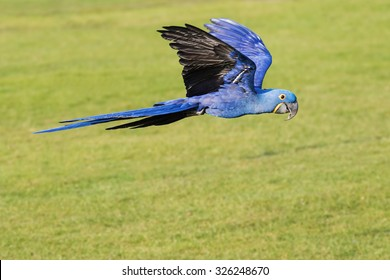 Hyacinth Macaw with wings held high. A lovely hyacinth macaw holds its wings above its body as it flies along.