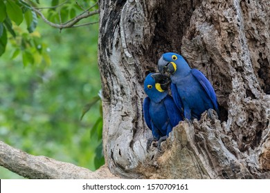 Hyacinth Macaws are  the world's largest species.  Found in the Pantanal of Brazil, they are exceptionally beautiful--rich blue, accented by gold. A pair at the nest shows tenderness and display.
