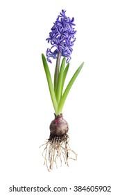 Hyacinth plant on white background, showing bulb.