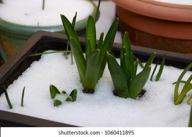 Hyacinth plants break through snow