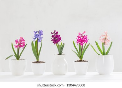 hyacinth in pot on white background