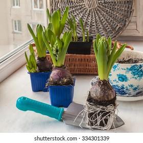 Hyacinth seedlings before planting in a pot.
