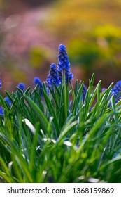 Hyacinth at Spring