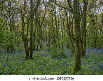 Hyacinthoides non-scripta, most commonly known as Bluebell Wildflowers at Darroch Oak Woodland near to Blairgowrie, Perthshire, Scotland.