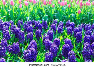Hyacinths in the spring garden.