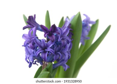 Hyacinthus orientalis - common, Dutch or garden hyacinth with violet a flowers on white  background