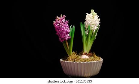 Hyacinthus orientalis /  (common hyacinth, garden hyacinth or Dutch hyacinth), is a herbaceous perennial flowering plant.