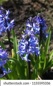 Hyacinthus orientalis peter stuyvesant blue flowers