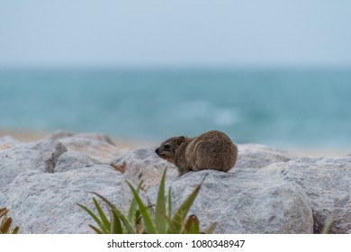 Hyarx on the beaches of Sir Bani Yas Island