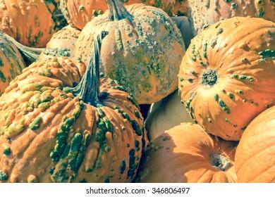 Hybrid Cucurbita pepo knucklehead pumpkin display at local farmers market