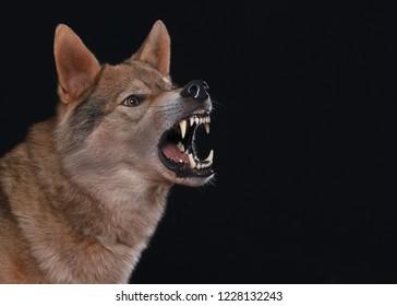 a hybrid of german shepherd and wolf, called wolfdog showing teeth, barks and looks dangerous, studio shot