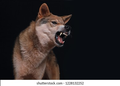 a hybrid of german shepherd and wolf, called wolfdog, showing his teeth and looks dangerous, studio shot