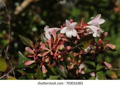 Abelia X Grandiflora Images Stock Photos Vectors Shutterstock