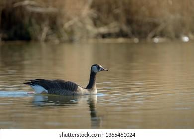 Hybrid goose, Canada goose x Greylag